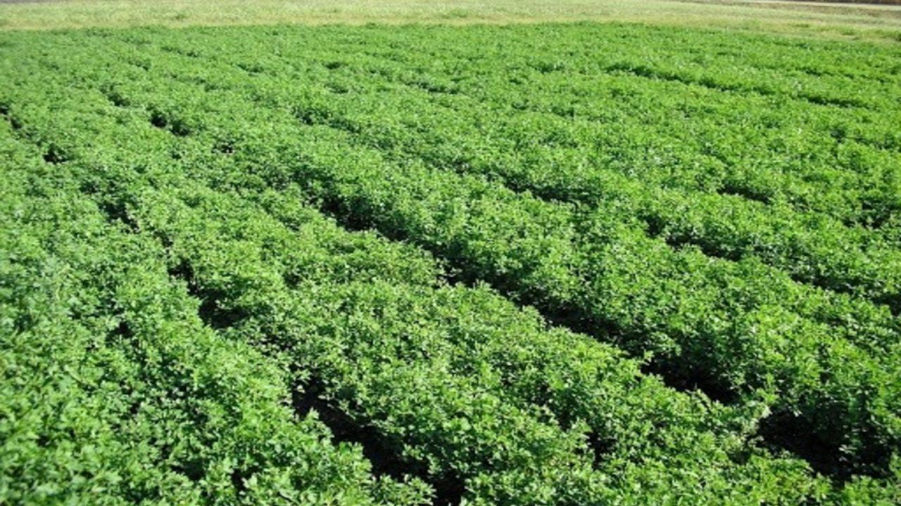 Zaštita lucerke od korova u toku vegetacije
