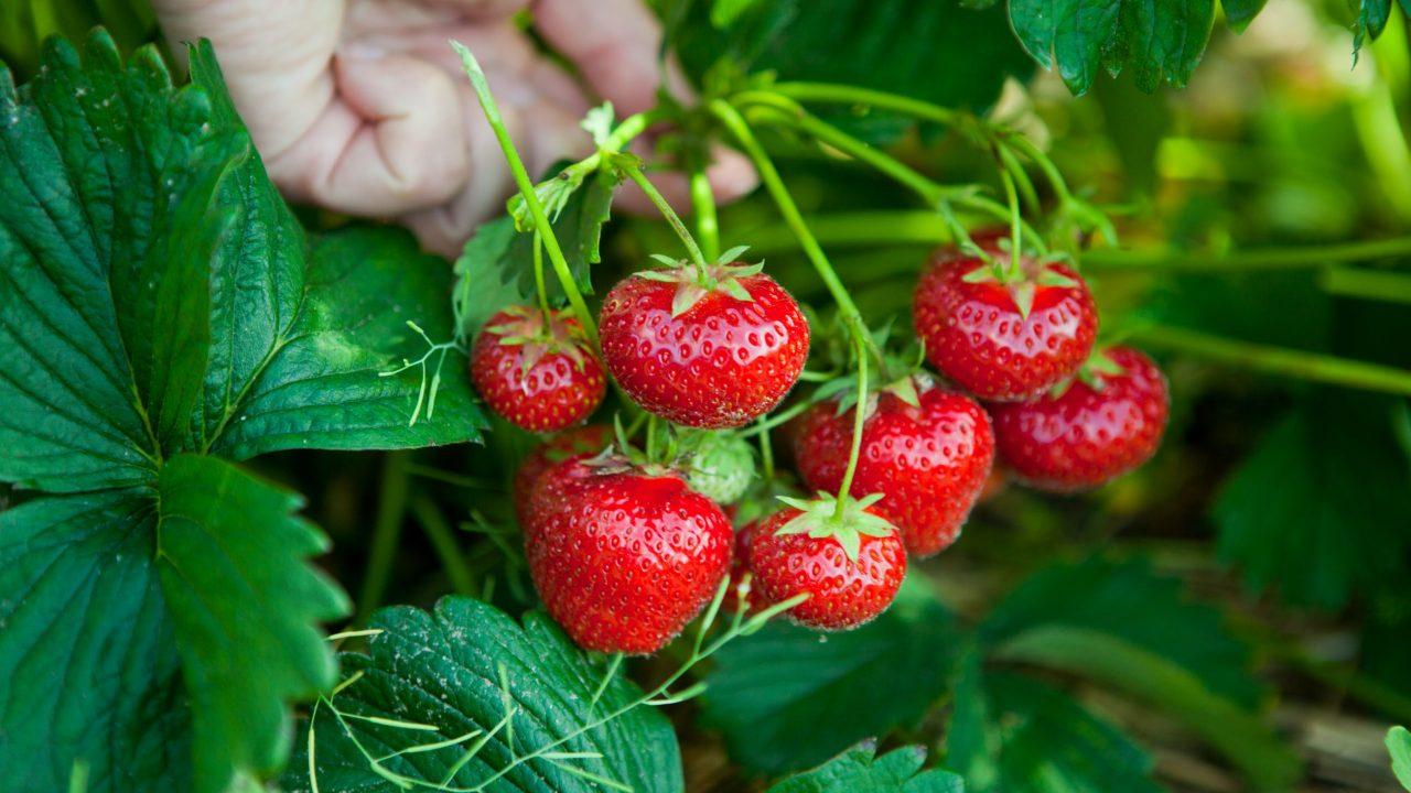 Zaštita jagode od sive truleži – Teldor i Signum